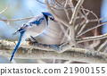 Blue Jay (Cyanocitta cristata) in early springtime 21900155