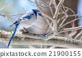 Blue Jay (Cyanocitta cristata) in early springtime 21900155
