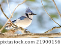 Blue Jay (Cyanocitta cristata) in early springtime 21900156