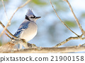 Blue Jay (Cyanocitta cristata) in early springtime 21900158