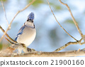 Blue Jay (Cyanocitta cristata) in early springtime 21900160