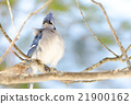 Blue Jay (Cyanocitta cristata) in early springtime 21900162