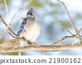 Blue Jay (Cyanocitta cristata) in early springtime 21900162