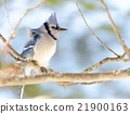Blue Jay (Cyanocitta cristata) in early springtime 21900163