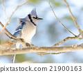 Blue Jay (Cyanocitta cristata) in early springtime 21900163