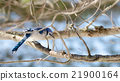 Blue Jay (Cyanocitta cristata) in early springtime 21900164