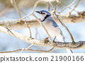 Blue Jay (Cyanocitta cristata) in early springtime 21900166