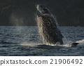 座頭鯨 跳 違反 21906492
