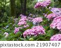 繡球花 花朵 花 21907407