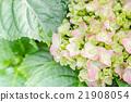 Hydrangea flower (Hydrangea macrophylla) 21908054