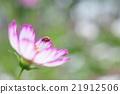大波斯菊 瓢蟲 花朵 21912506