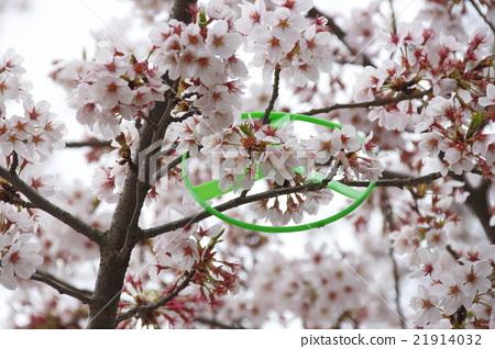 樱花 樱桃树 樱花盛开 21914032