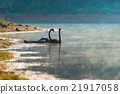 Two black swans float in the lake 21917058