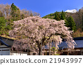 開花 櫻花 櫻 21943997