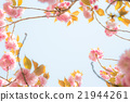 cherry, blossom, tree 21944261