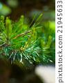 松树 21945633