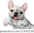 法國牛頭犬 狗 狗狗 21949238