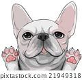 法國牛頭犬 狗 狗狗 21949318