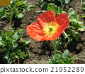 Red big big poppy flower 21952289