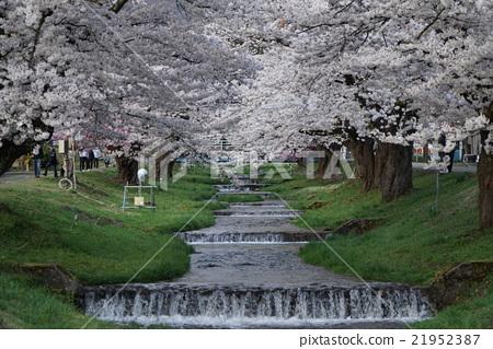 Inawashiro Kanonji River cherry blossoms 21952387