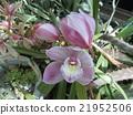 Cinnabom的大粉红色的花 21952506