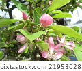 Karin桃紅色花在秋天投入黃色果子 21953628