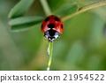 七星瓢蟲 瓢蟲 21954522