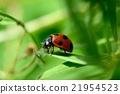 七星瓢蟲 瓢蟲 掠食 21954523