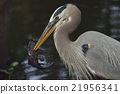Great Blue Heron 21956341