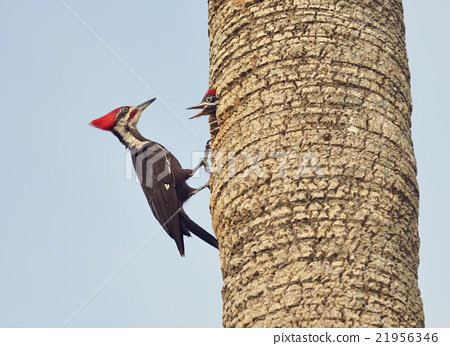 Male Pileated Woodpecker 21956346