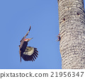 Pileated Woodpeckers Family 21956347