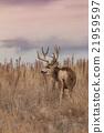 Mule Deer Buck 21959597