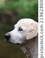 狗 狗狗 黃金獵犬 21962860