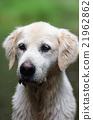 狗 狗狗 黃金獵犬 21962862