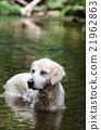 狗 狗狗 黃金獵犬 21962863
