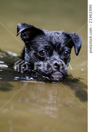 Jug在狗公园玩(Pug和Jack Russell的混合) 21962990