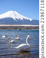 Swan in front of Mount Fuji at Lake Yamanaka 21967118