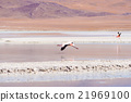 Pink flamingo flying over salt lake on the Bolivian Andes 21969100