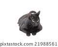 black cat laid down over white 21988561