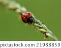 Ladybug 21988859