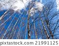 birch, tree, trunk 21991125