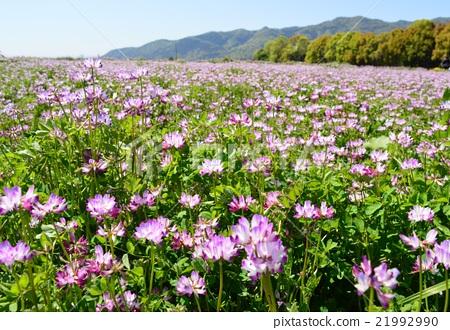 lotus flower spoon field of lotus flowers stock photo 21992990