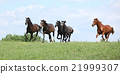 Beautiful herd of horses running together 21999307