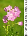 ชบา,สีชมพู,ดอกไม้ 22003143