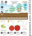 tomato, tomatoes, farming 22008972