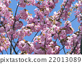 Sakura Flower or Cherry Blossom With Beautiful 22013089