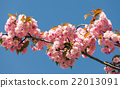 Sakura Flower or Cherry Blossom With Beautiful 22013091
