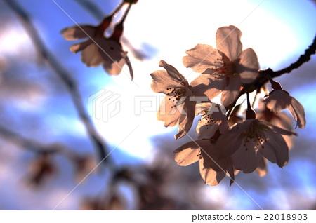樱花 樱桃树 樱花盛开 22018903