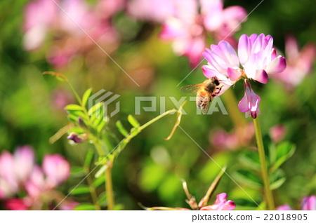 white clover, Red Clover, trifolium pratense 22018905
