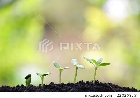Sunflower planting 22020835